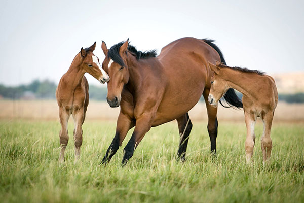 Foal left: Casendro (Casparon/Lissabon/Contender) Mare: Lorelei (Lissabon/Contender/Garibaldi II)